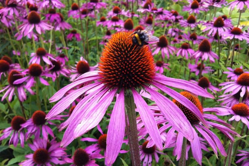 Echinacea - Natural Healing Powers