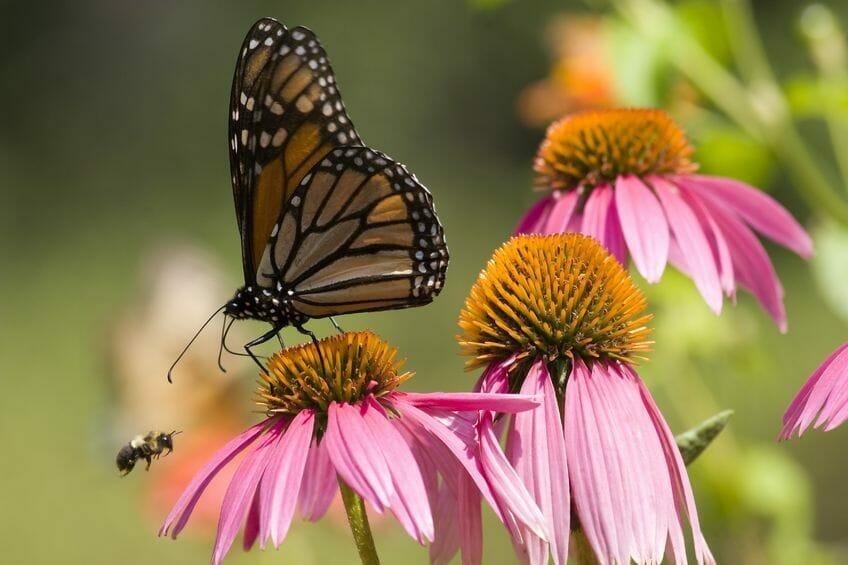 echinacea as powerful natural remedy