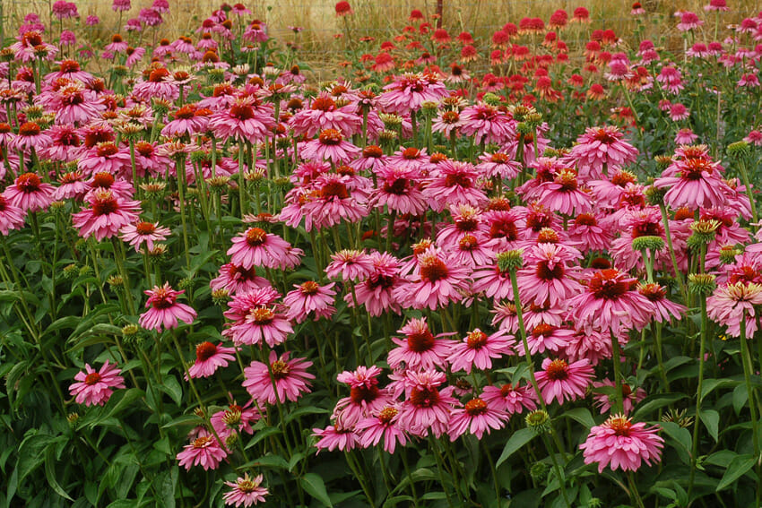 echinacea as natural remedy