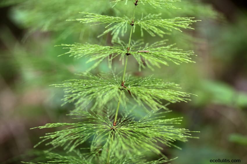 about horsetail plant