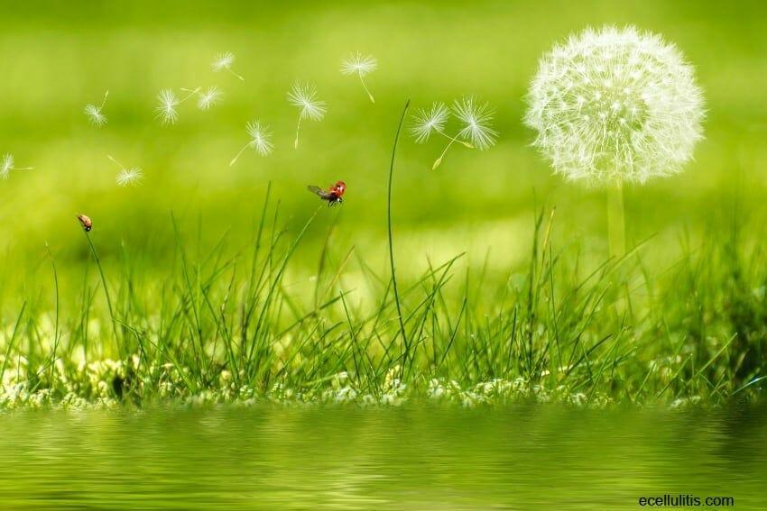Dandelion as powerful remedy