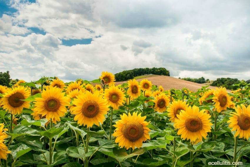 sunflower seeds – health benefits