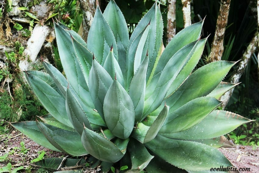Aloe Vera - Powerful Plant