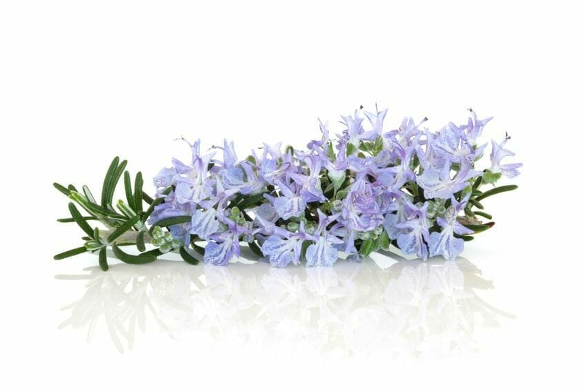 What Are the Characteristics of Rosemary Herb?