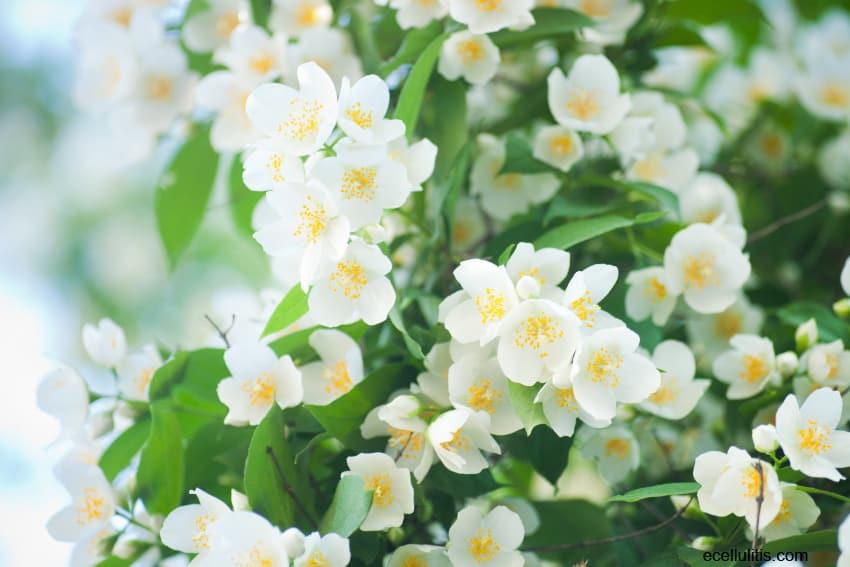Jasmine Tea Benefits You Should Know