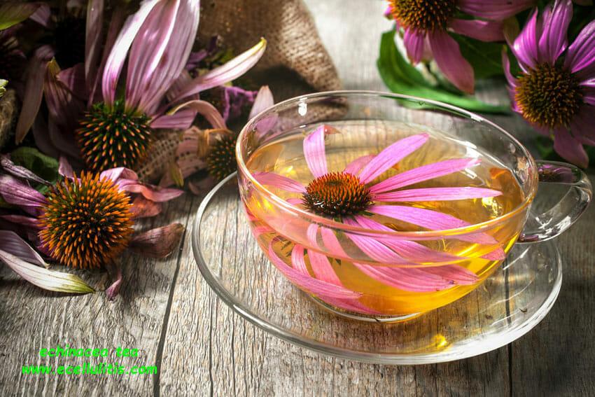 echinacea tea health benefits