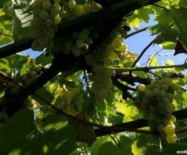 grape health benefits
